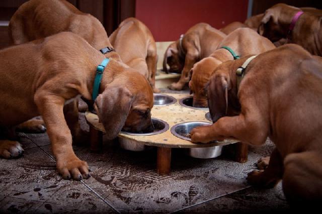 alimentacao-para-cachorros