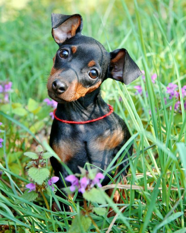 Colocefalectomia em cães e gatos