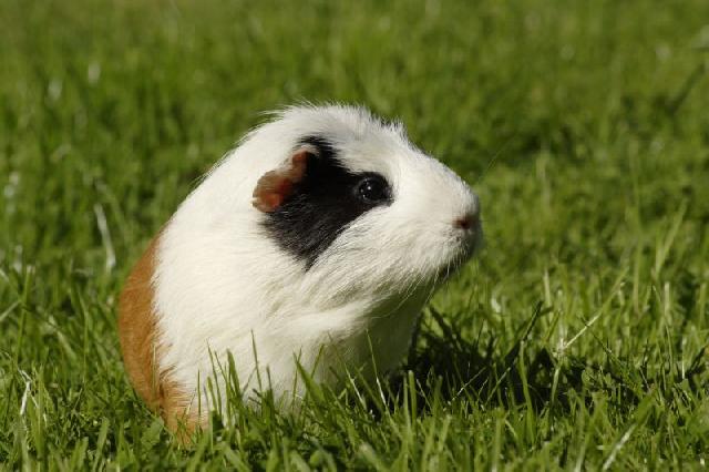 animais-de-estimacao-porquinho-india