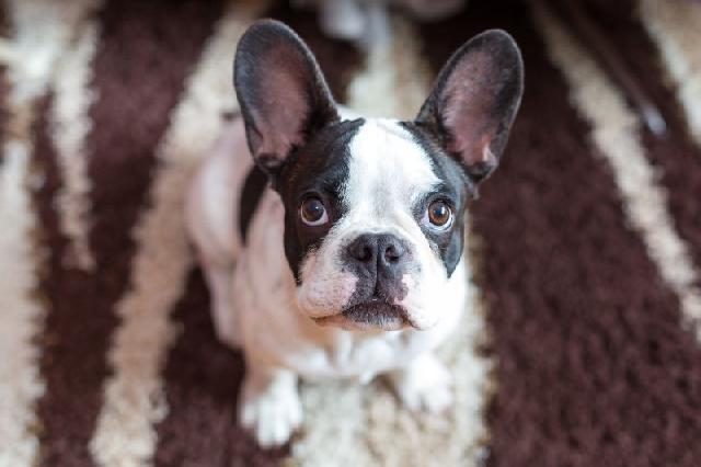 O Boxer Baba Muito Babá de Cães ...