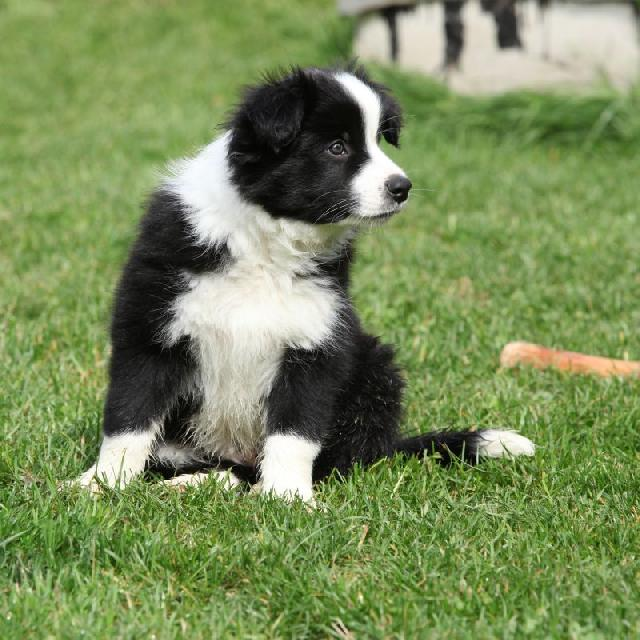 border-collie-caes-mais-inteligentes