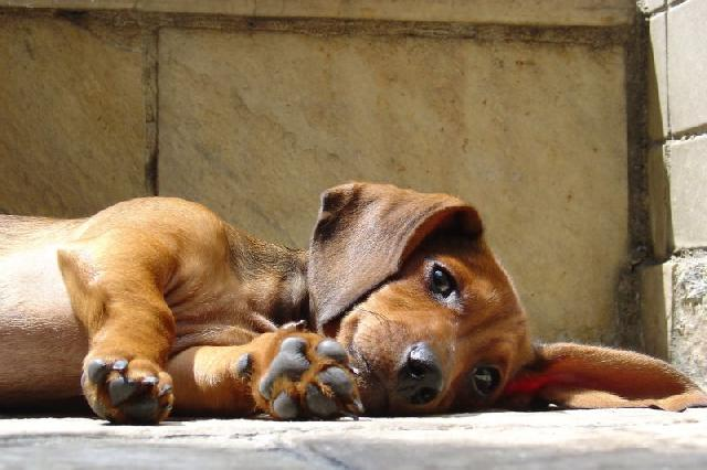 cachorro-apartamento-dachshund-teckel