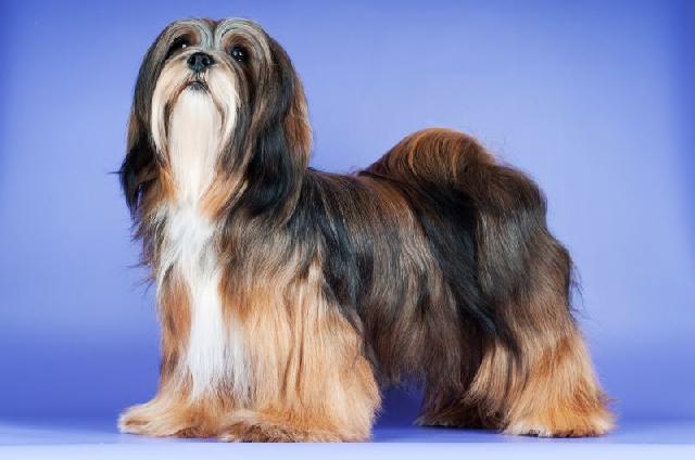 cachorro-apartamento-lhasa-apso