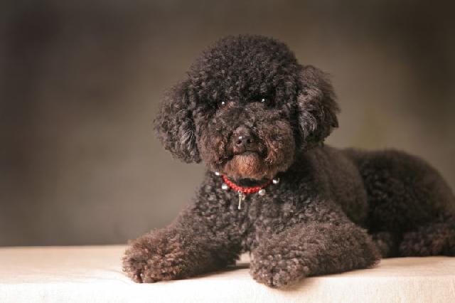 cachorro-apartamento-poodle-toy