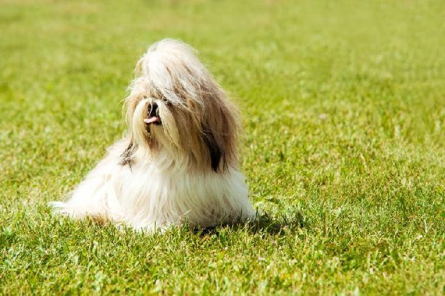 cachorro-apartamento-shih-tzu
