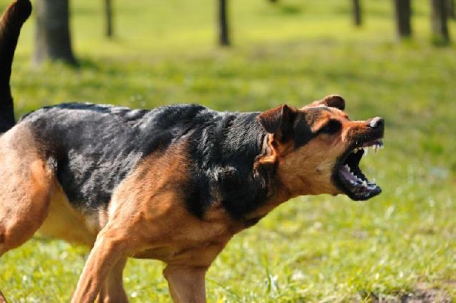 cachorro-bravo