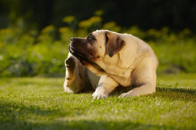 cachorro-carrapato