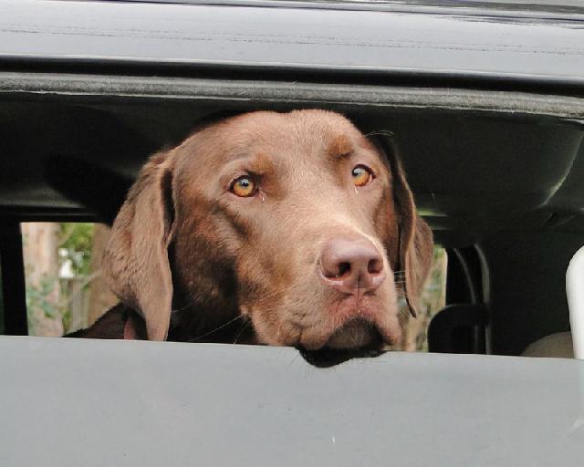 cachorro-carro