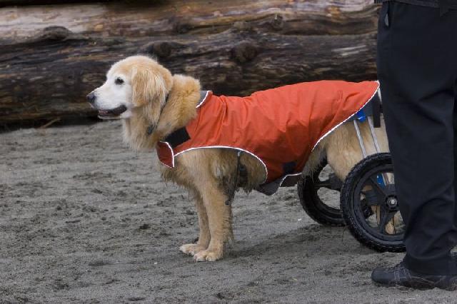 cachorro-com-cadeira-de-rodas