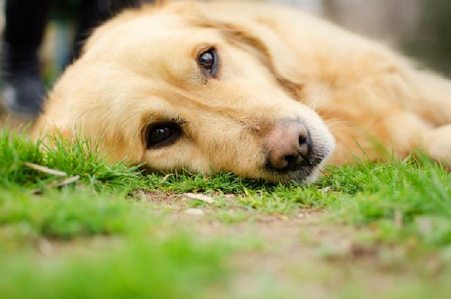 cachorro-com-diarreia