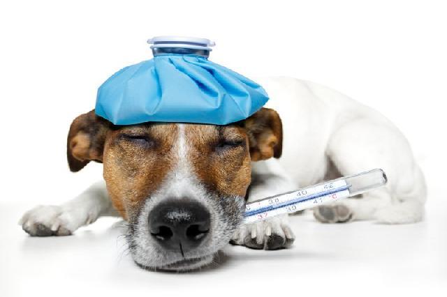 cachorro-com-febre-como-cuidar
