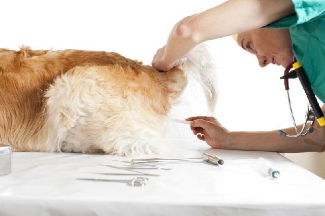 cachorro-com-febre-medir-temperatura