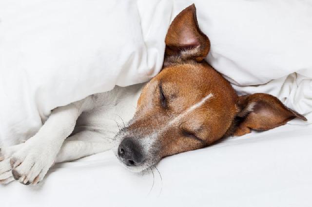 cachorro-com-febre