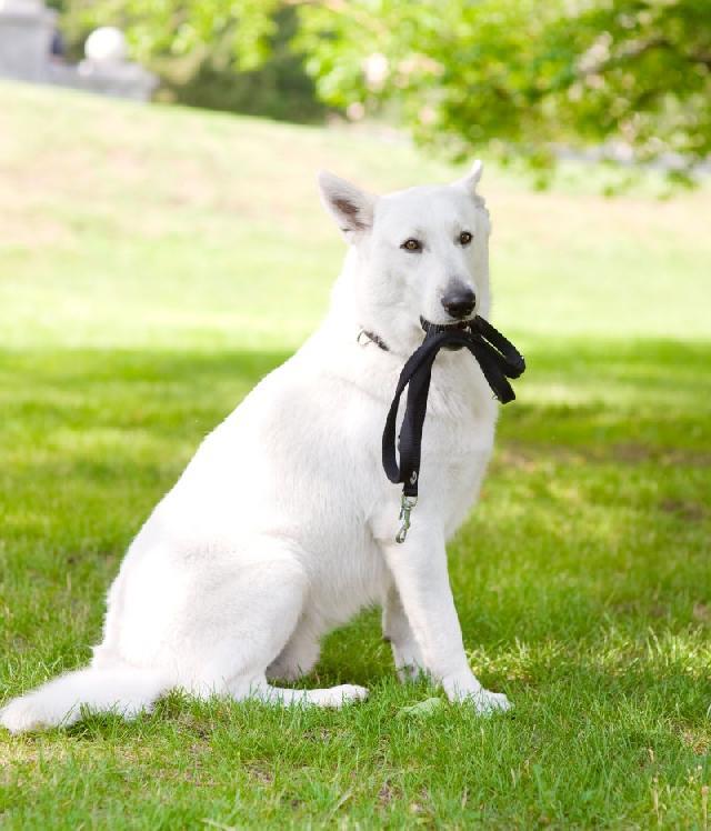 cachorro-com-guia