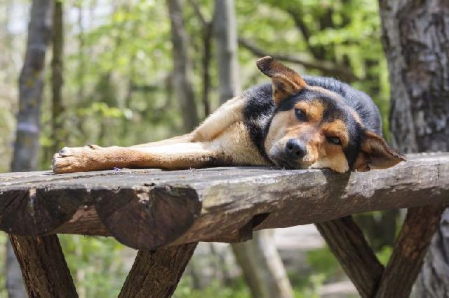 cachorro-depressivo