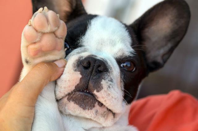 Causas da claudicação em cães