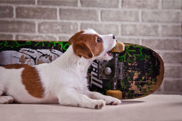 cachorro-hiperativo-2