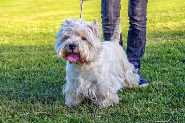 cachorro-ideal-para-apartamento-west-highland