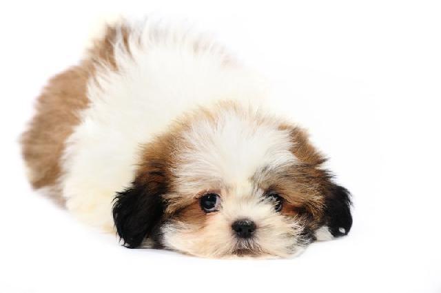 cachorro-ideal-para-apartamento