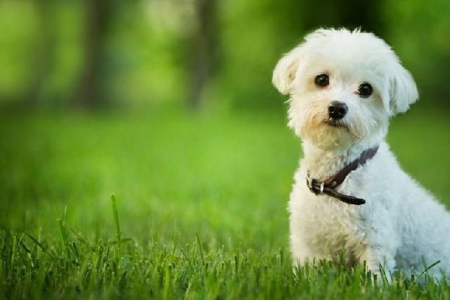 cachorro-pequeno-maltes