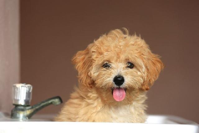 cachorro-pequeno-poodle