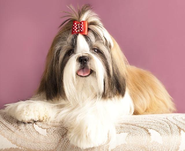 cachorro-pequeno-shih-tzu
