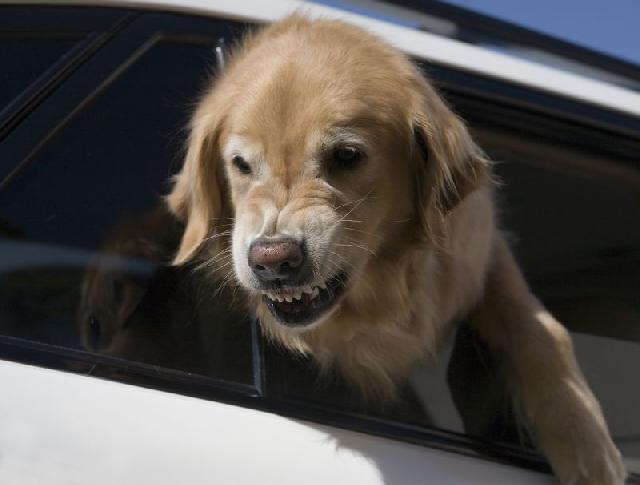 cachorro-perigoso