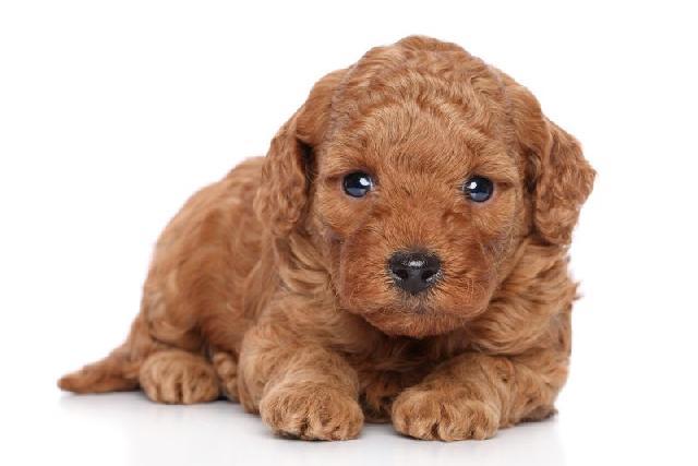 cachorro-poodle-anao