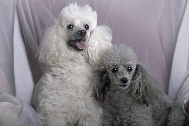 cachorro-poodle-medio