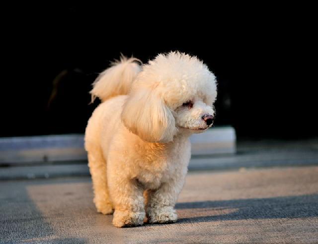 cachorro-poodle-toy