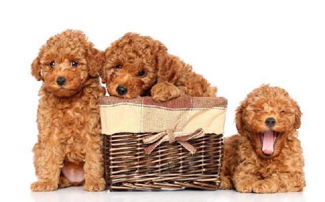 cachorro-poodle