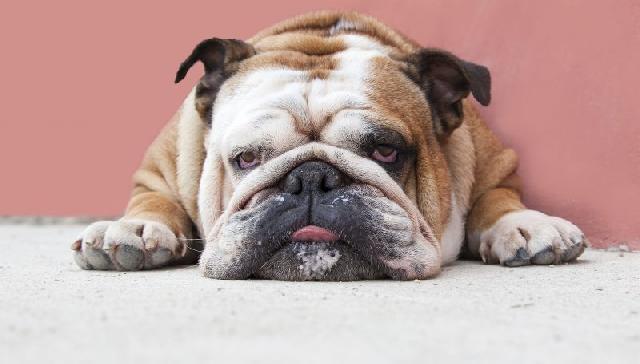 cachorro-precisa-emagrecer