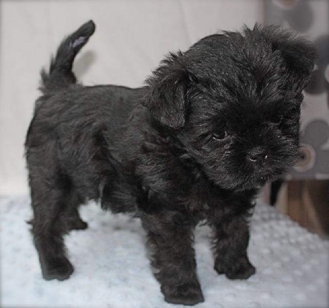 cachorro-preto-affenpinscher