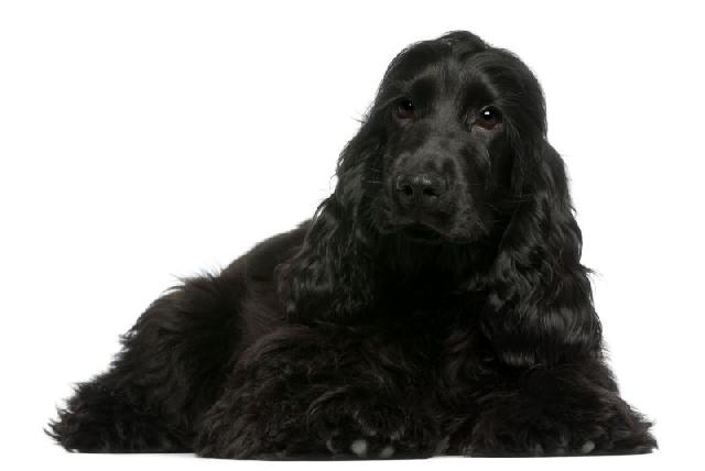 cachorro-preto-cocker-spaniel-ingles