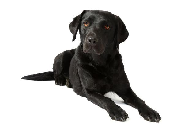 cachorro-preto-labrador-retriever