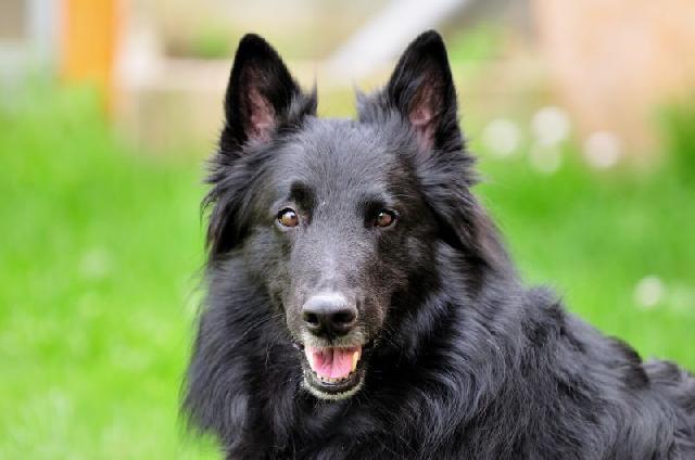 cachorro-preto-pastor-belga