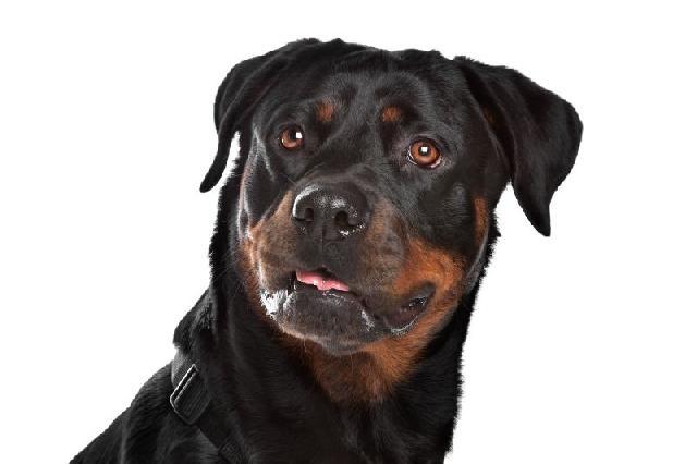cachorro-preto-rotweiler
