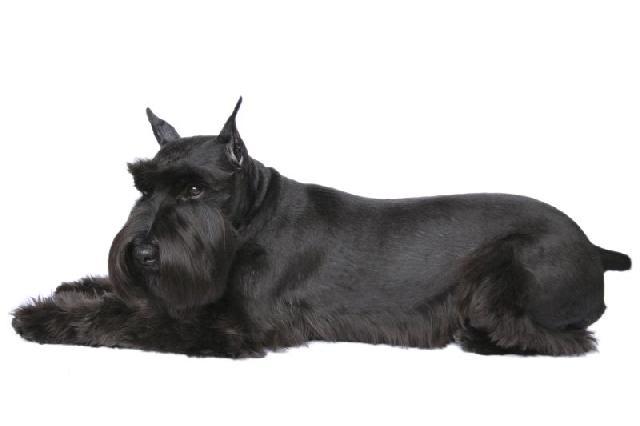 cachorro-preto-schnauzer-gigantecachorro-preto-schnauzer-gigante