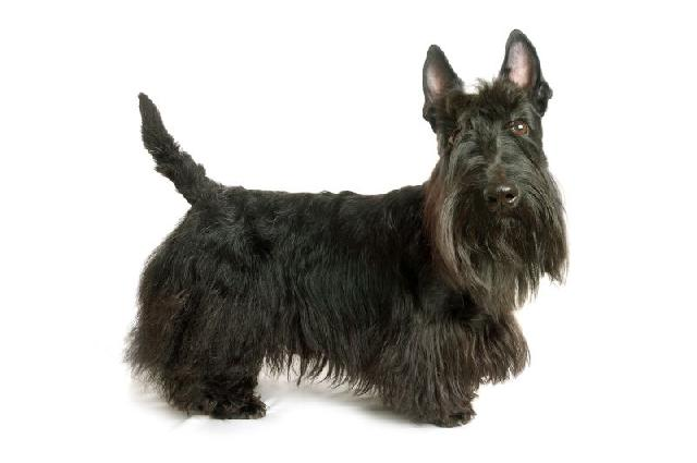 cachorro-preto-terrier-escoces