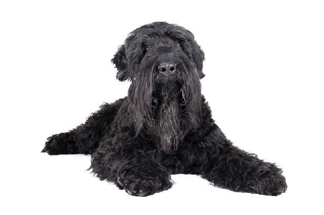 cachorro-preto