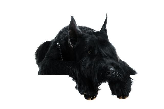 cachorro-schnauzer-preto