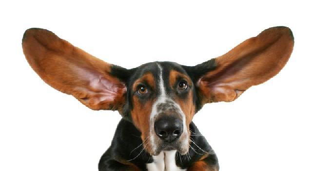 cachorro-surdo