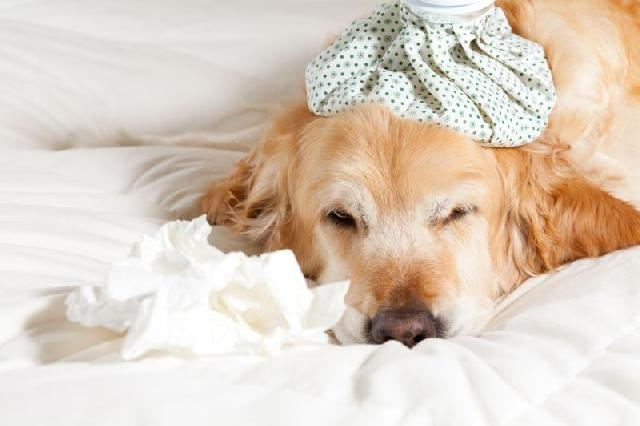 cachorro-tem-gripe