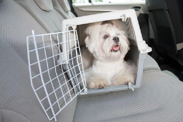 cachorro-viajando