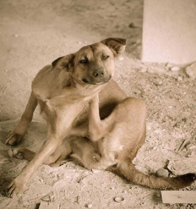 cachorros-com-dermatite