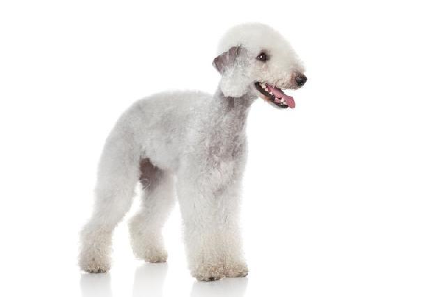 cachorros-diferentes-bedlington-terrier