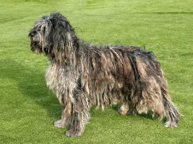 cachorros-diferentes-bergamasco