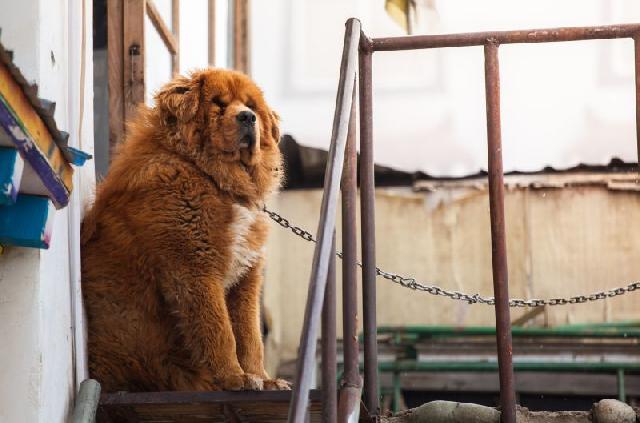 cachorros-diferentes-mastiff-tibetano