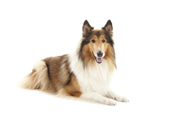 cachorros-grandes-collie