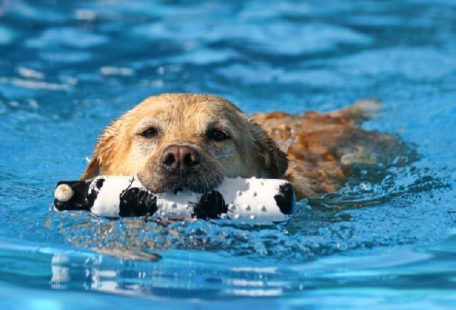 cachorros-grandes-labrador
